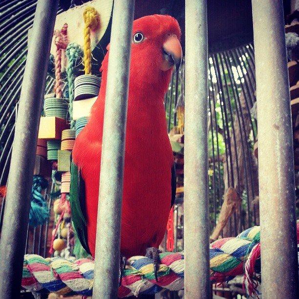 Australian king parrot #atrium #hyatt #red